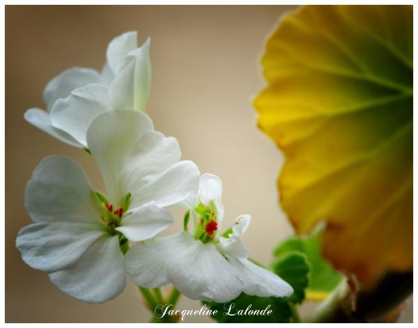 Géranium blanc, white geranium