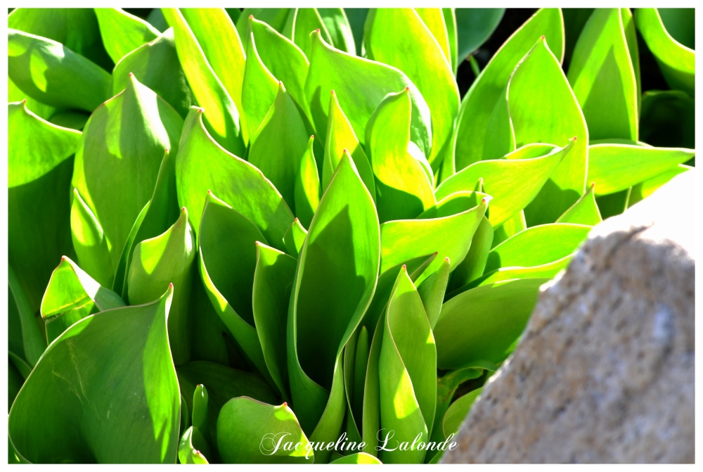 Les tulipes s'en viennent, Tulips are coming up