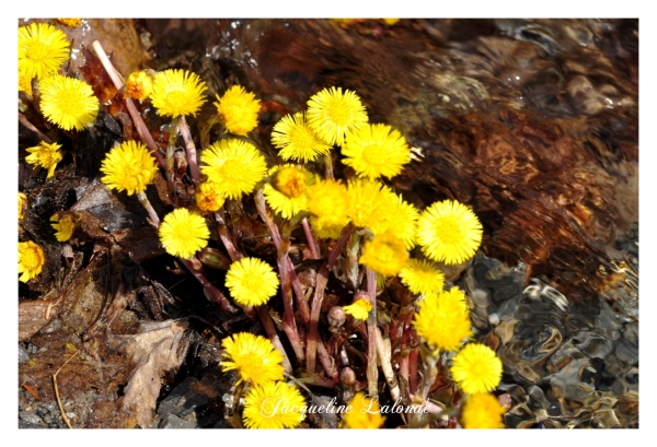 Tussilages, coltsfoot
