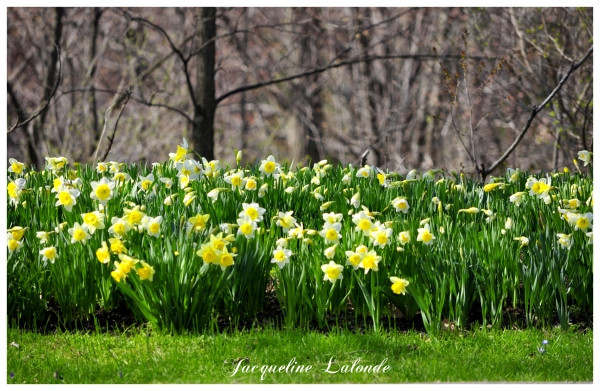 Jardin de jonquilles, Garden of daffodils