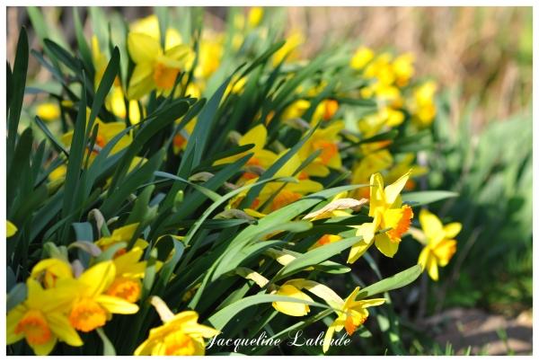 Jonquilles au jardin, daffodils in the garden