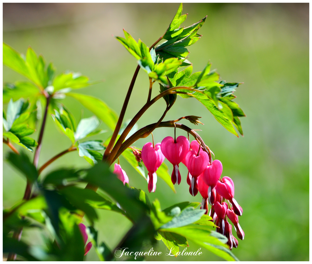 Coeurs saignants, bleeding hearts