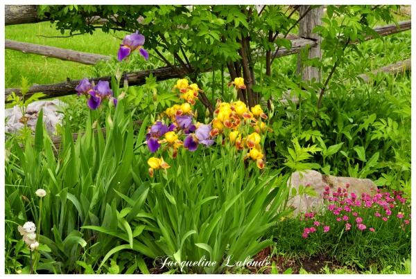 Mon jardin d'iris, My Iris Garden