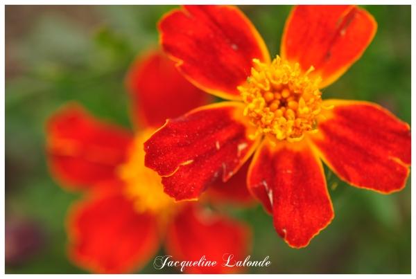 Petites fleurs éclatantes, Small bright flowers