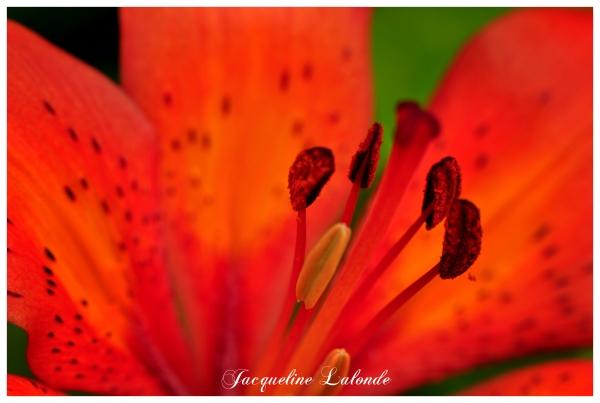 Lis orange, orange lily