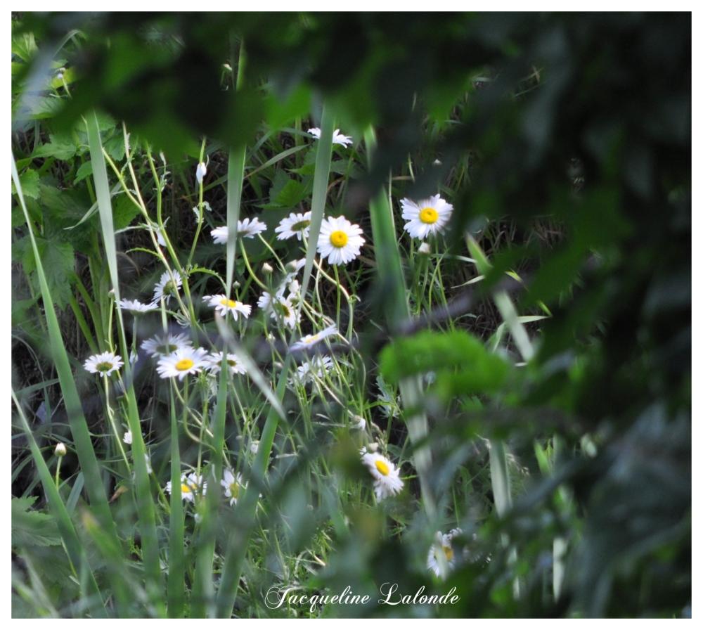 Petites marguerites, small daisies