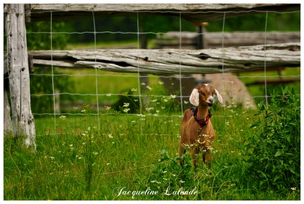 Bébé chèvre, baby goat
