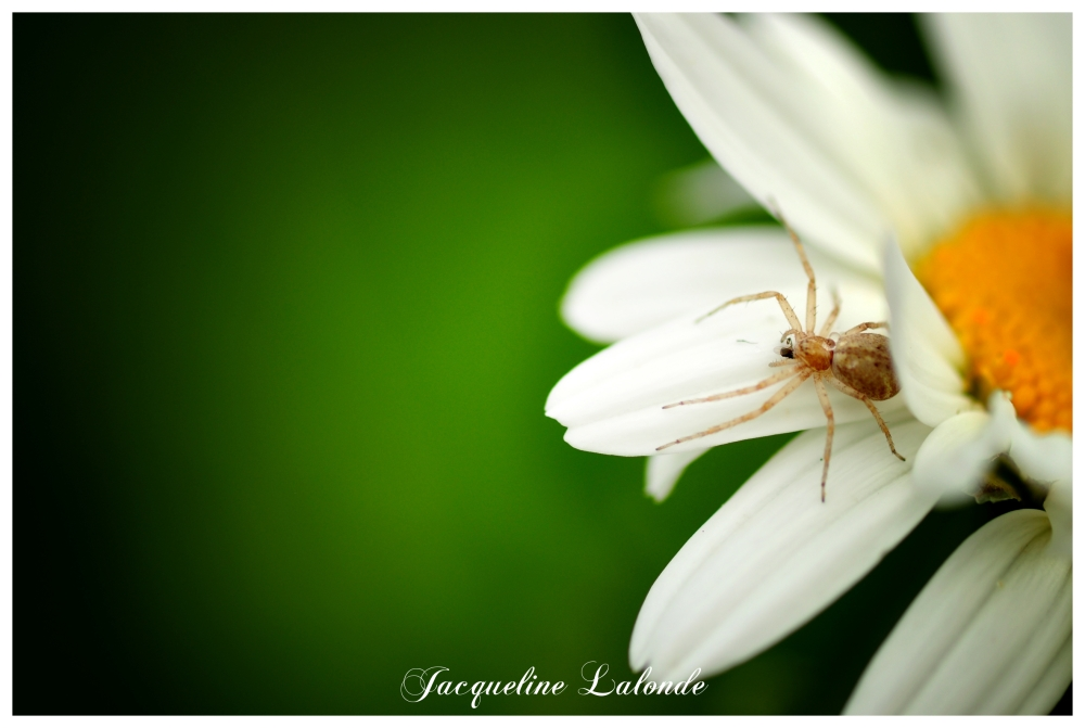 L'araignée, the spider