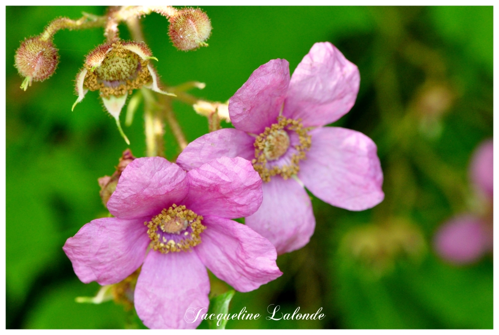 Belles églantines, beautiful wild roses