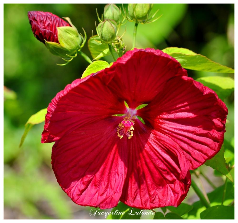 Mon nouvel hibiscus, My new hibiscus