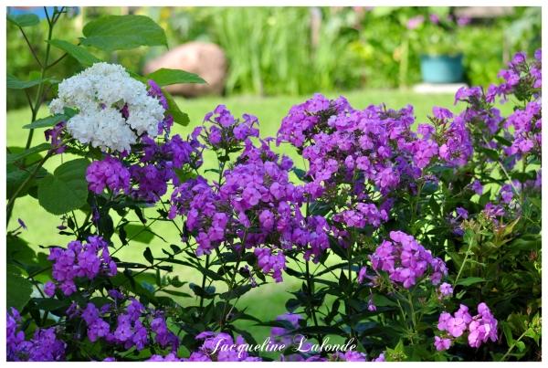 Parfum de phlox, scent of phlox
