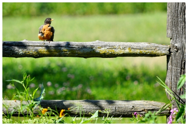 Merle sur la clôture, robin on the fence