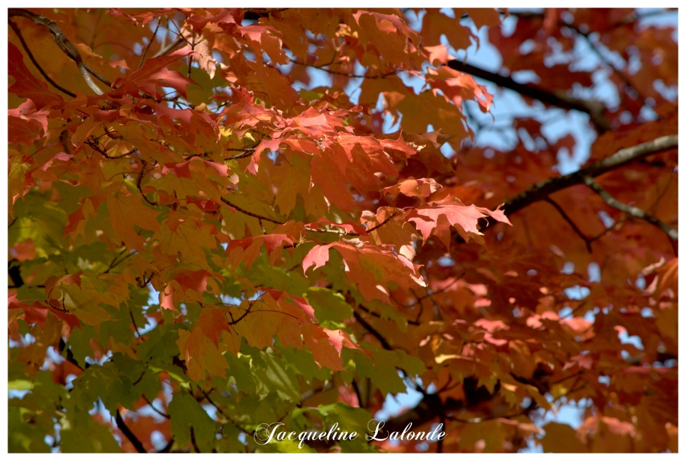 Feuilles d'érable, maple leaves