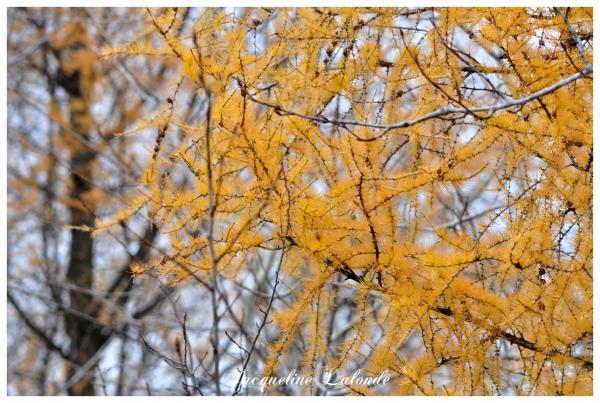 Mélèze en automne, larch in autumn