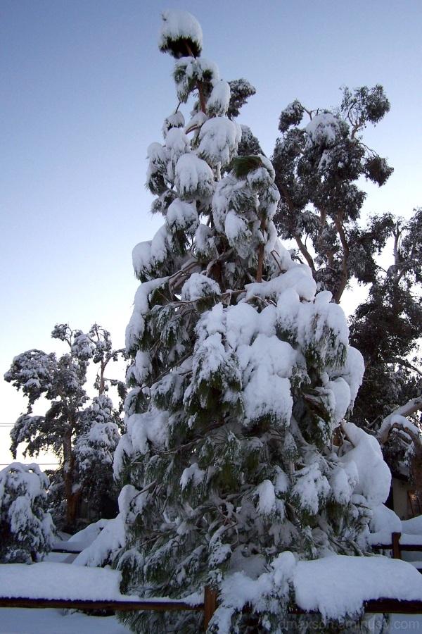 Morning pine