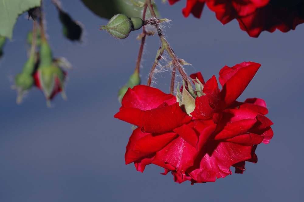 Luz y rosas. Light and roses. 2