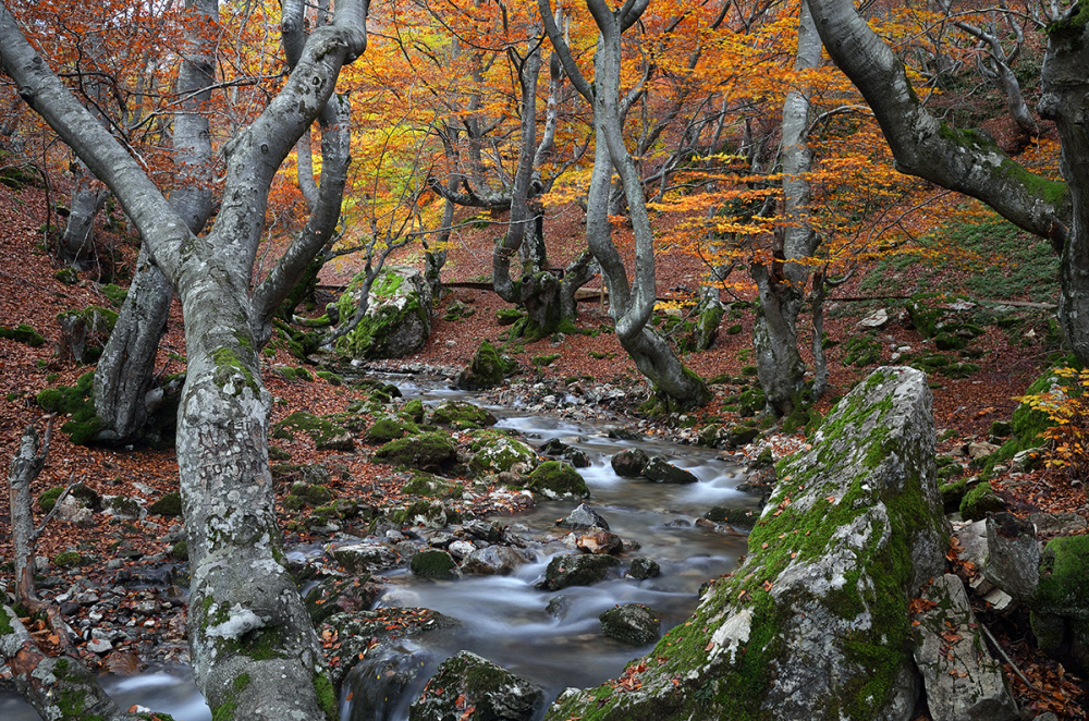 Hayedo en otoño. Beech trees in Autumn.