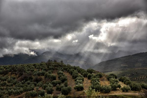Olivos de Mágina. Olive trees of Mágina