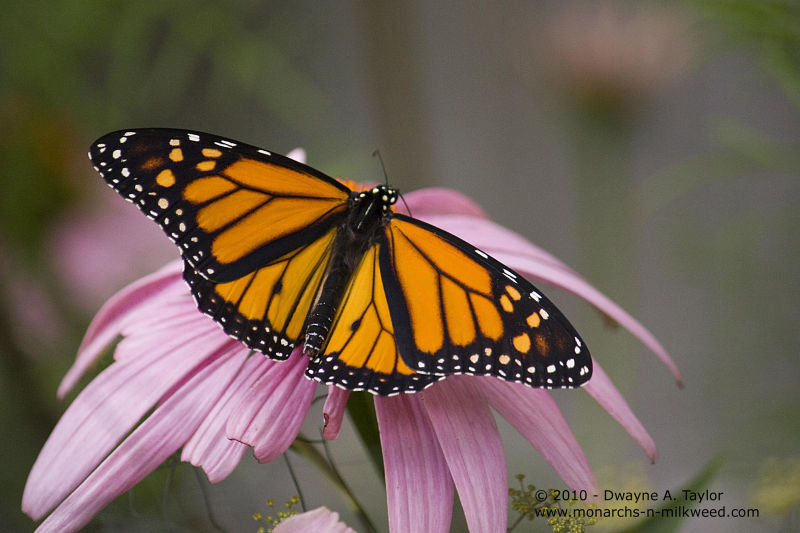 Male Monarch nectaring on Purple Coneflower