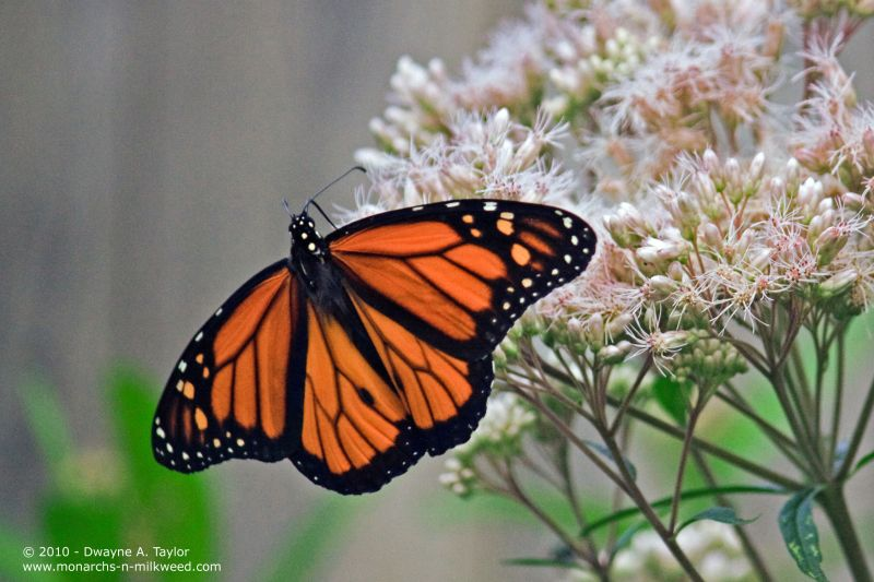A Male Monarch nectaring