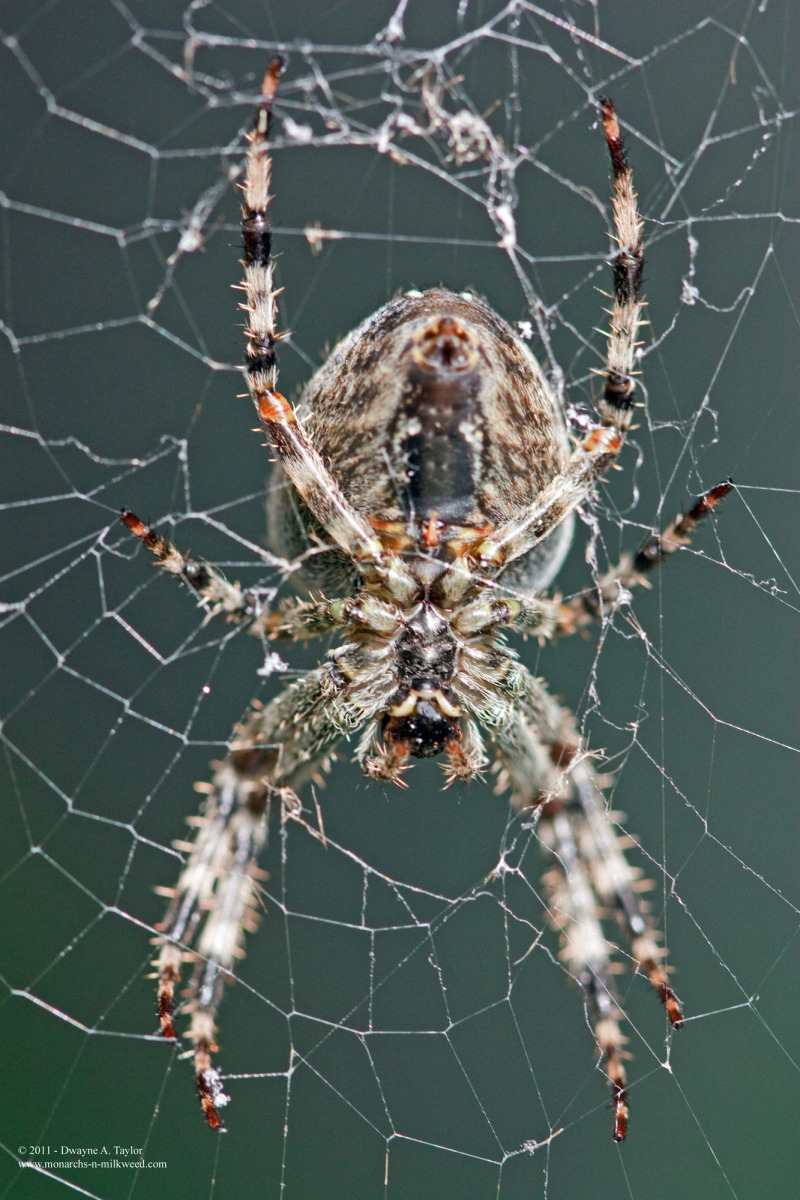 A garden Spider from my Garden