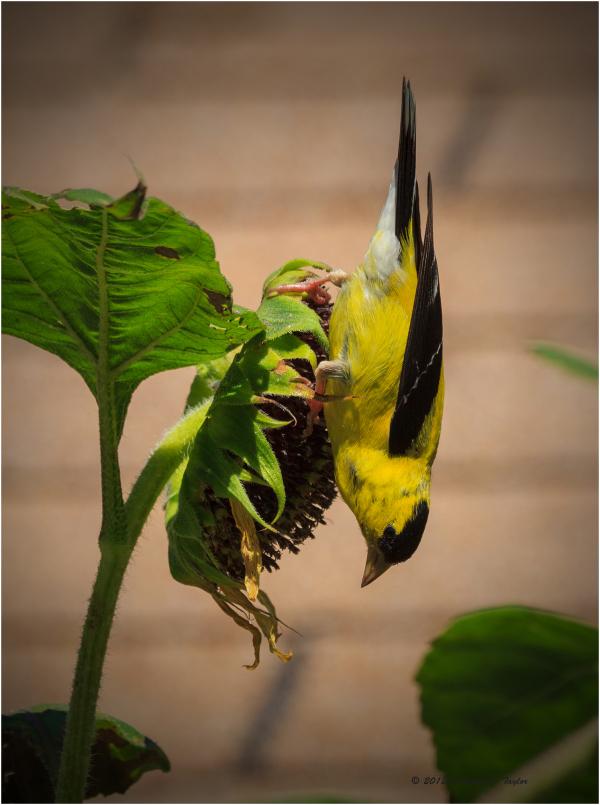 Finch on Sunflower