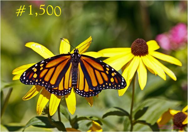 1,500th Monarch reared in 2012