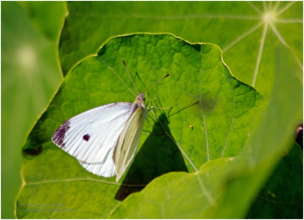 A cabbage white butterfly on a nasturtium, a host