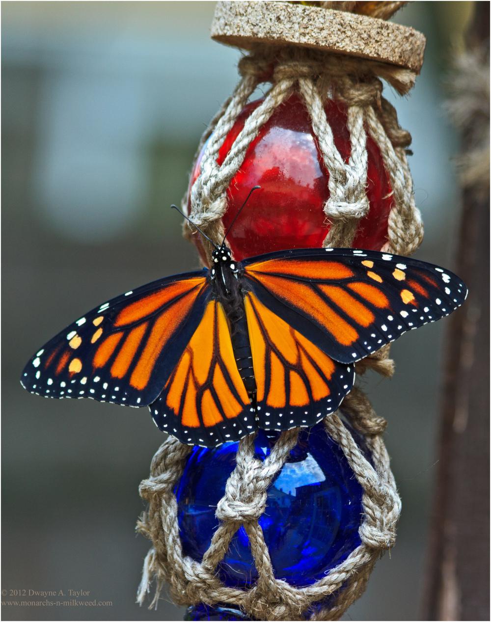 Monarch on Ornament