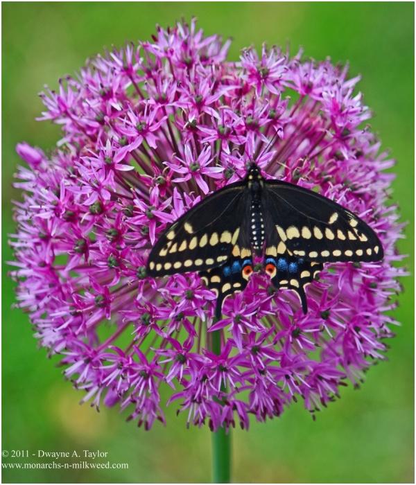 Black Swallowtail on Allium