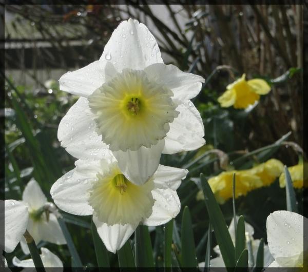 demoiselle de printemps