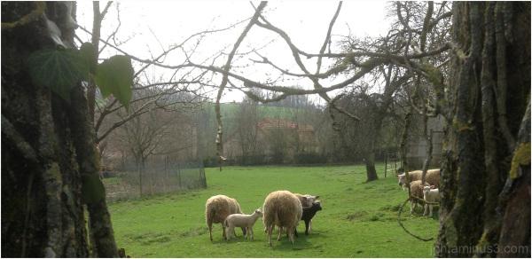 Quel destin pour le mouton noir ?...