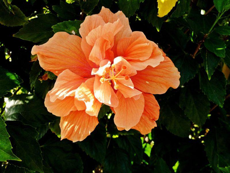 Peach Amapola