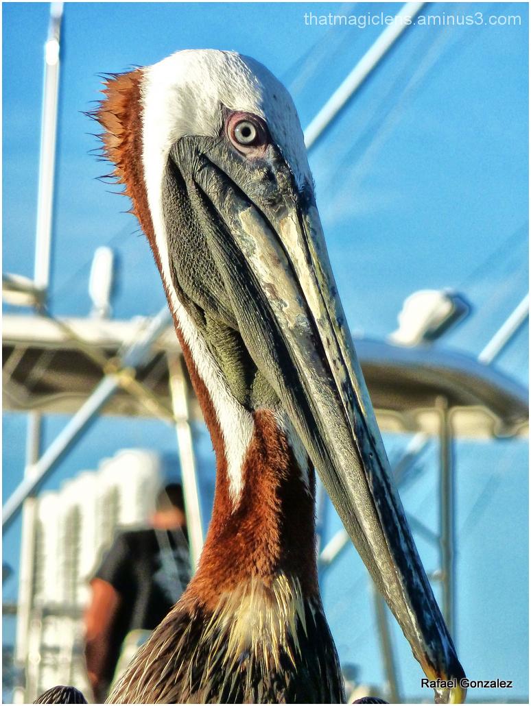 Pelican V