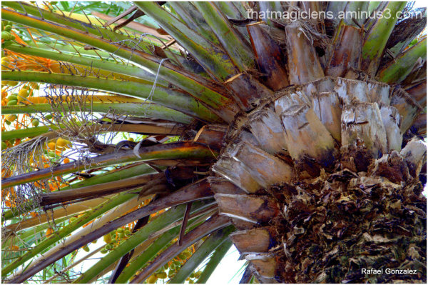 Pinaple Palm