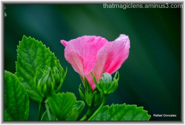 Small Hibiscus
