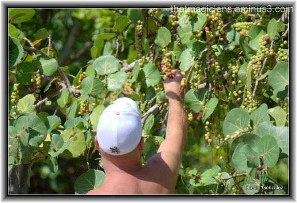 Sea Grape Picker