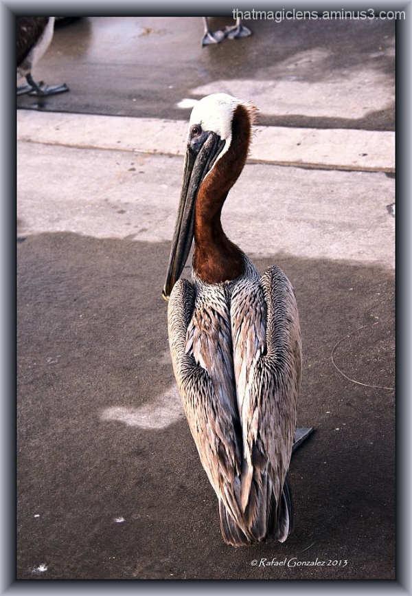 El Pelicano 8