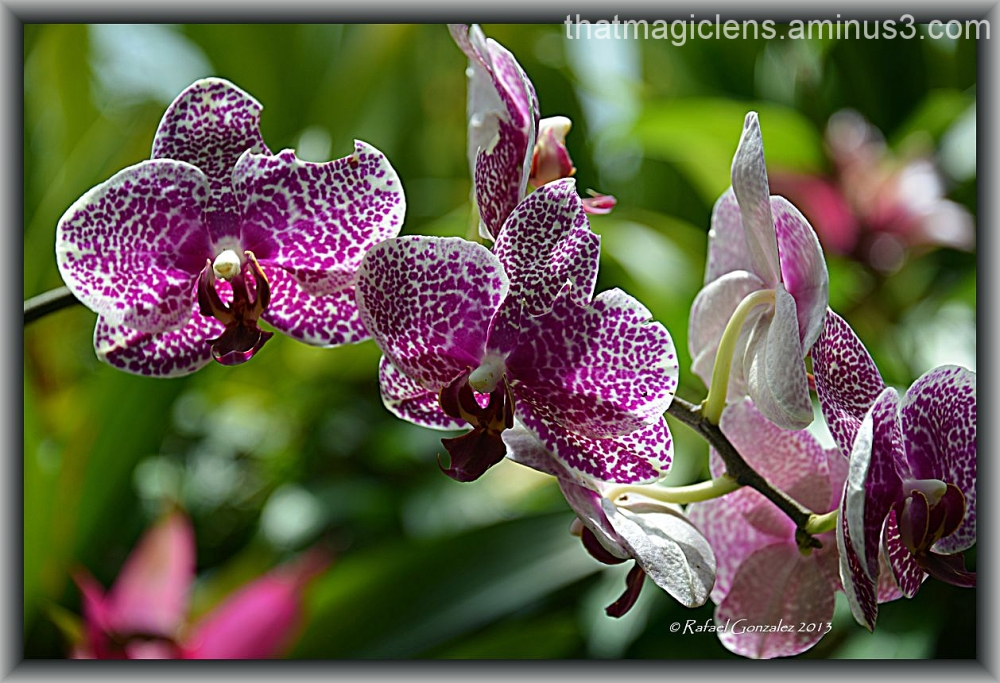 Always the  the Magnificent Orchid