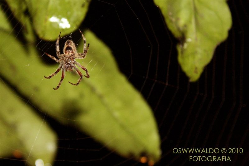 Araña en su tela fondo verde nocturna