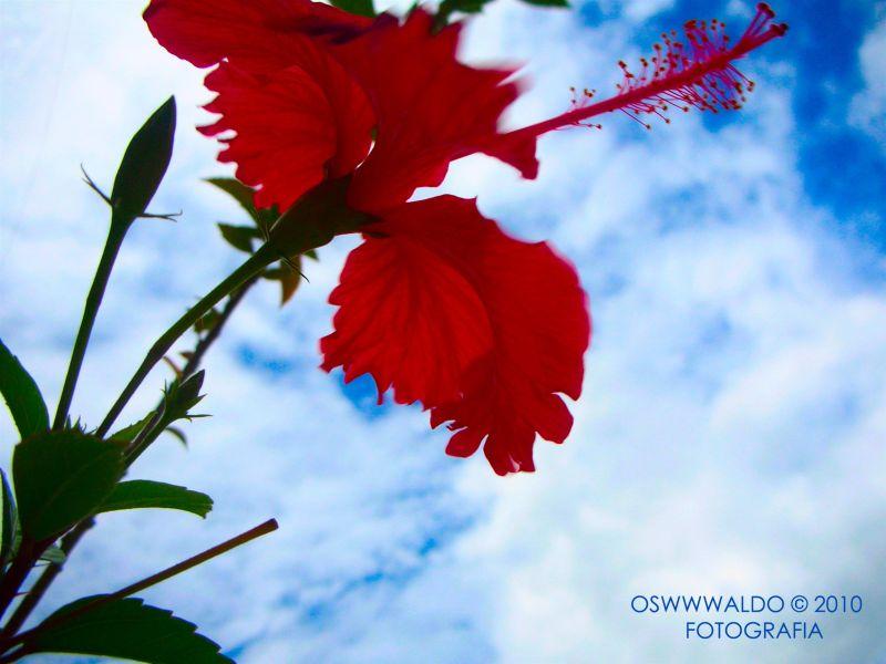 Un rojo clavel de mi jardin