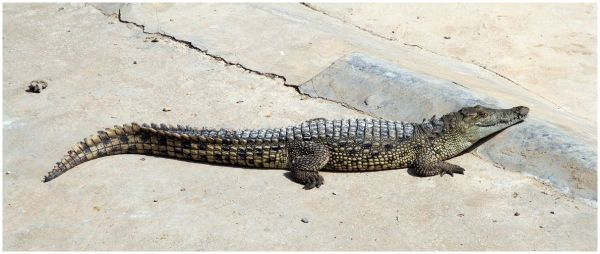 A young crocodile from Hammamet Zoo in Tunisia.
