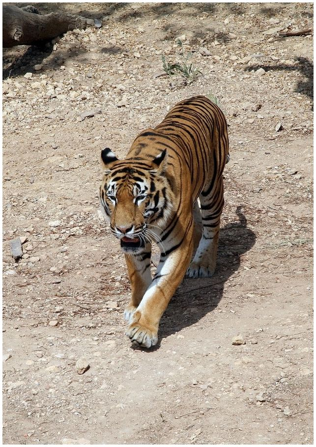 A tiger from Hammamet Zoo in Tunisia.
