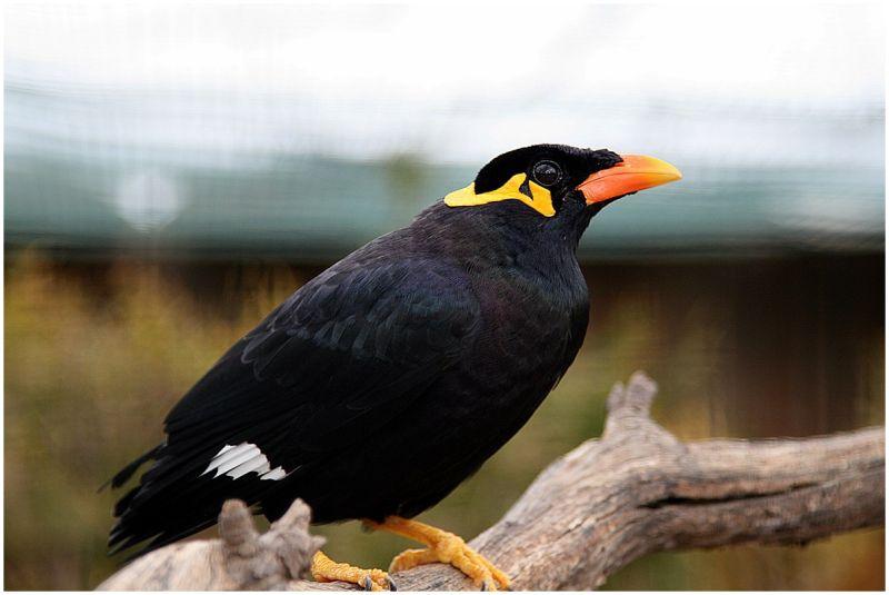 Blackbird from Attiko Parko (Zoo) in Spata, Greece