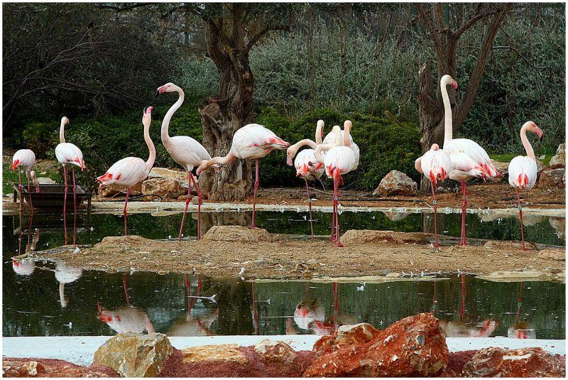 Group of Flamingo fro Attiko Parko (Zoo).