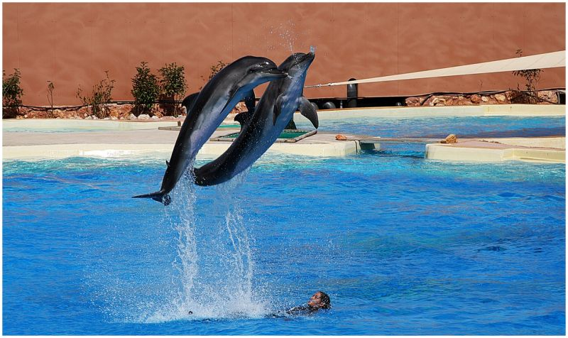 A couple of young dolphins during a show.