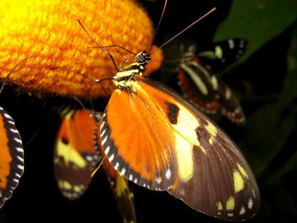 Mariposa en mariposario de Ecuador