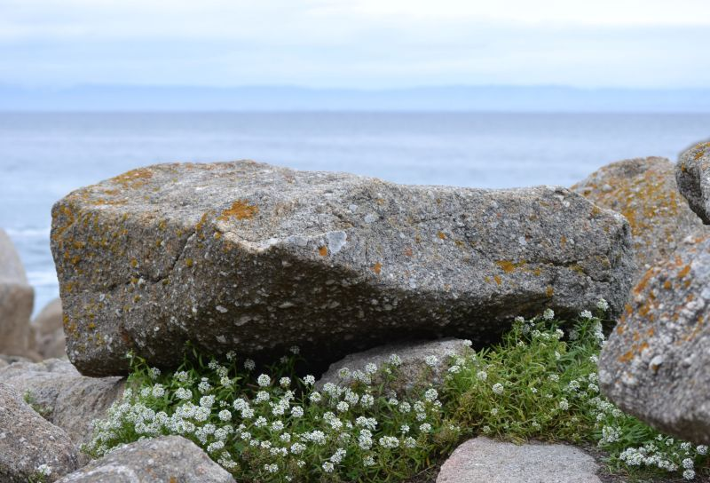 Flowers hiding amongst rocks along the west coast