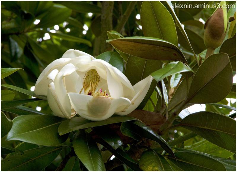 Let Magnolia Blossom
