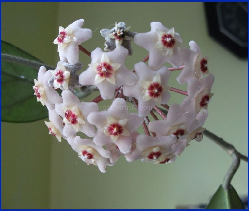 Floarea Maicii Domnului